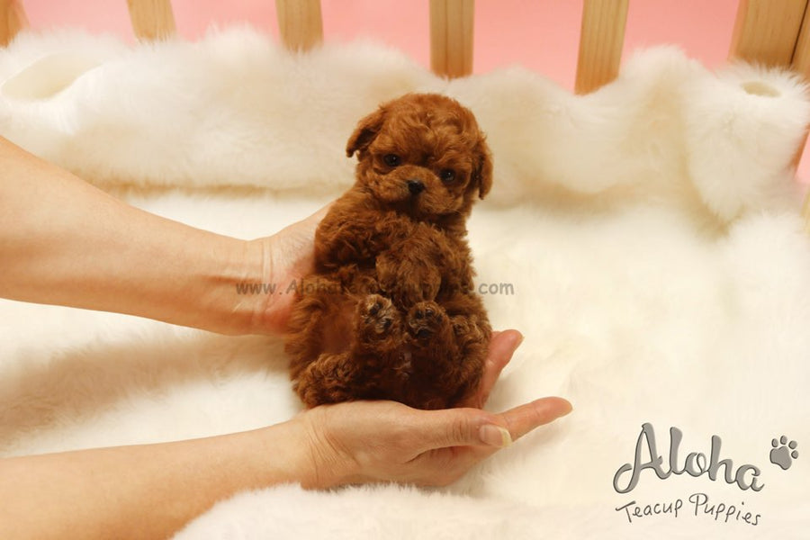 Sold to Irene, Colin [TEACUP MALTIPOO]