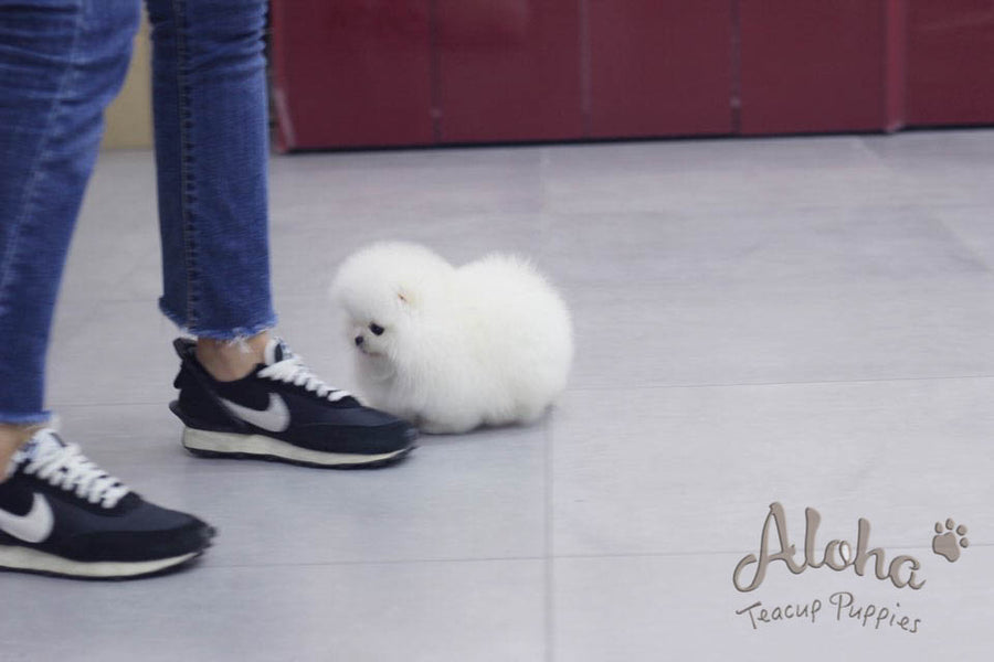 Sold to Camellia, Rufus [TEACUP POMERANIAN]