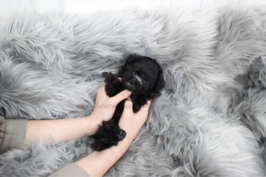 Pony [TEACUP POODLE]