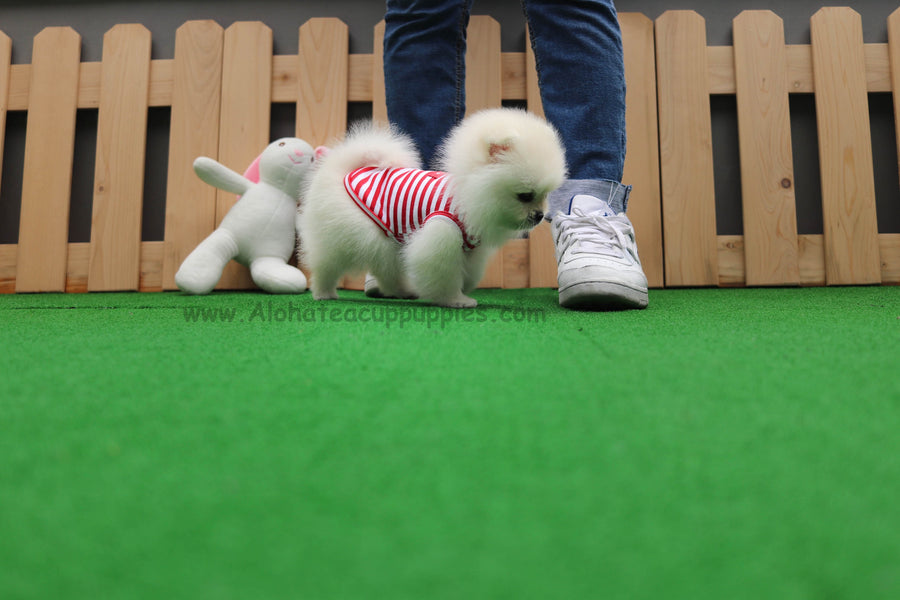 Sold to Misti, Marshmallow [Teacup Pomeranian]