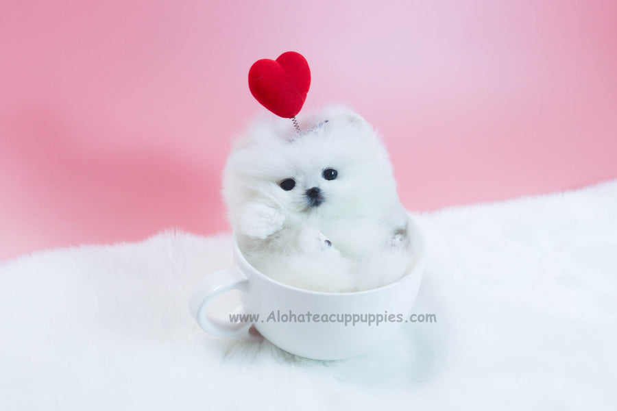 Sold to Nguyen, Wendy [TEACUP POMERANIAN]