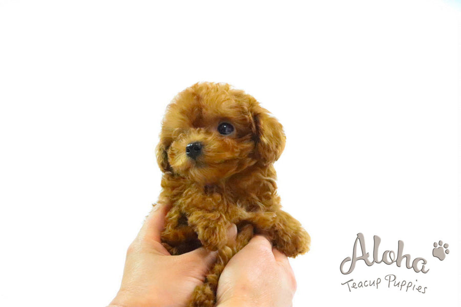 Sold to Ashley, COCO - [Teacup Poodle]