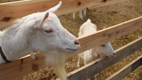 Goat's Milk: Highly Digestible & Delightfully Delicious
