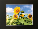 Matted Sunflowers Photograph