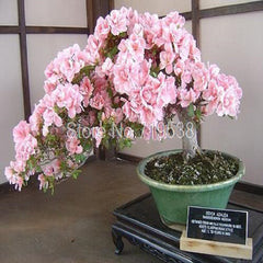 Rare Japanese Sakura Cherry Blossom Bonsai Plants   10 seeds