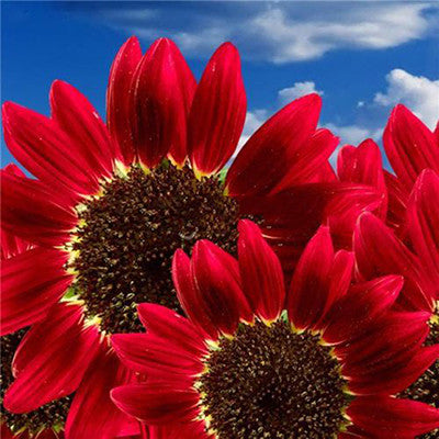 15pcs Red Sunflower Fortune Seeds