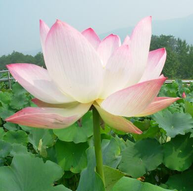 10pcs/seeds  bowl lotus aquatic hydroponic