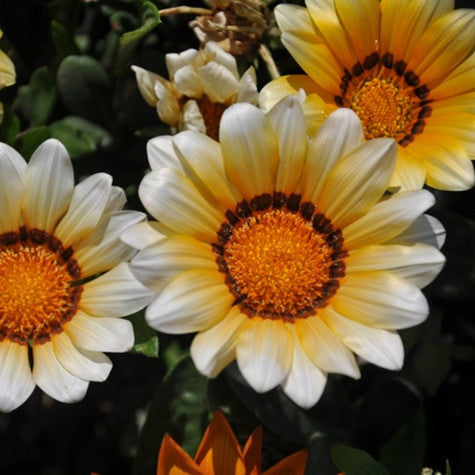200PCS Gazania rigens seeds Bonsai Garden