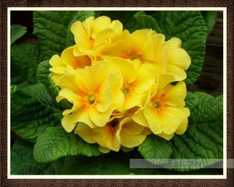 100 Seeds Europe Primula Acaulis