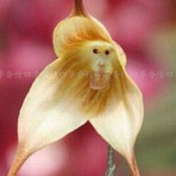 100pcs  Cute Monkey Face Orchid Seeds
