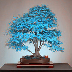 20  Rare Blue Japanese Maple Bonsai Tree Seeds