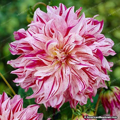 10 seeds Dahlia,Beautiful Perennial Flowers