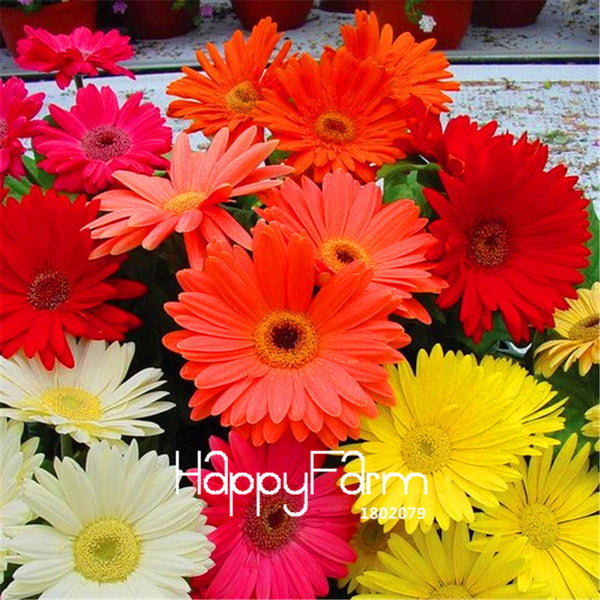 100 Pcs Gerbera Daisy  Flower Seeds