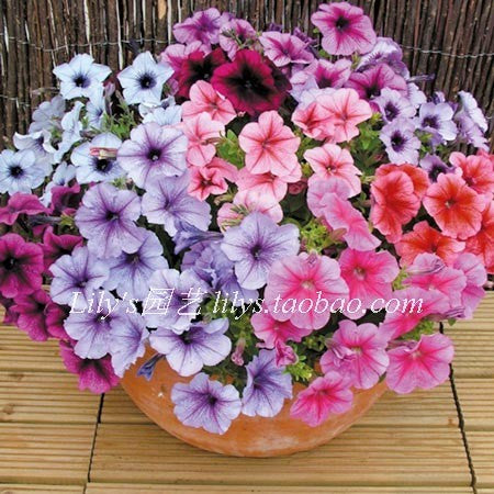 100 Petunia seeds mirage multi-color selection