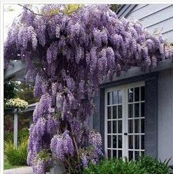 10 seeds/pack hot selling Purple Wisteria Flower