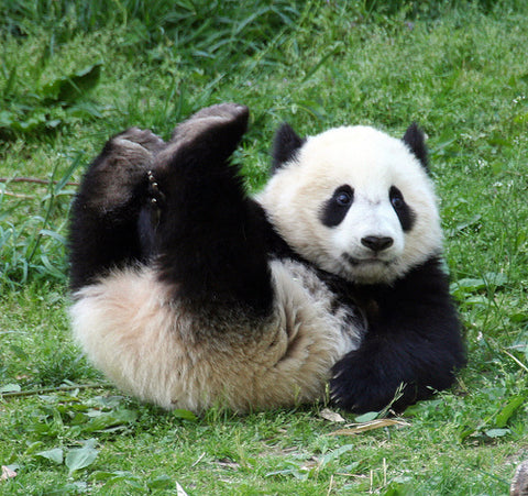 Panda Cute Lazying Around on Back