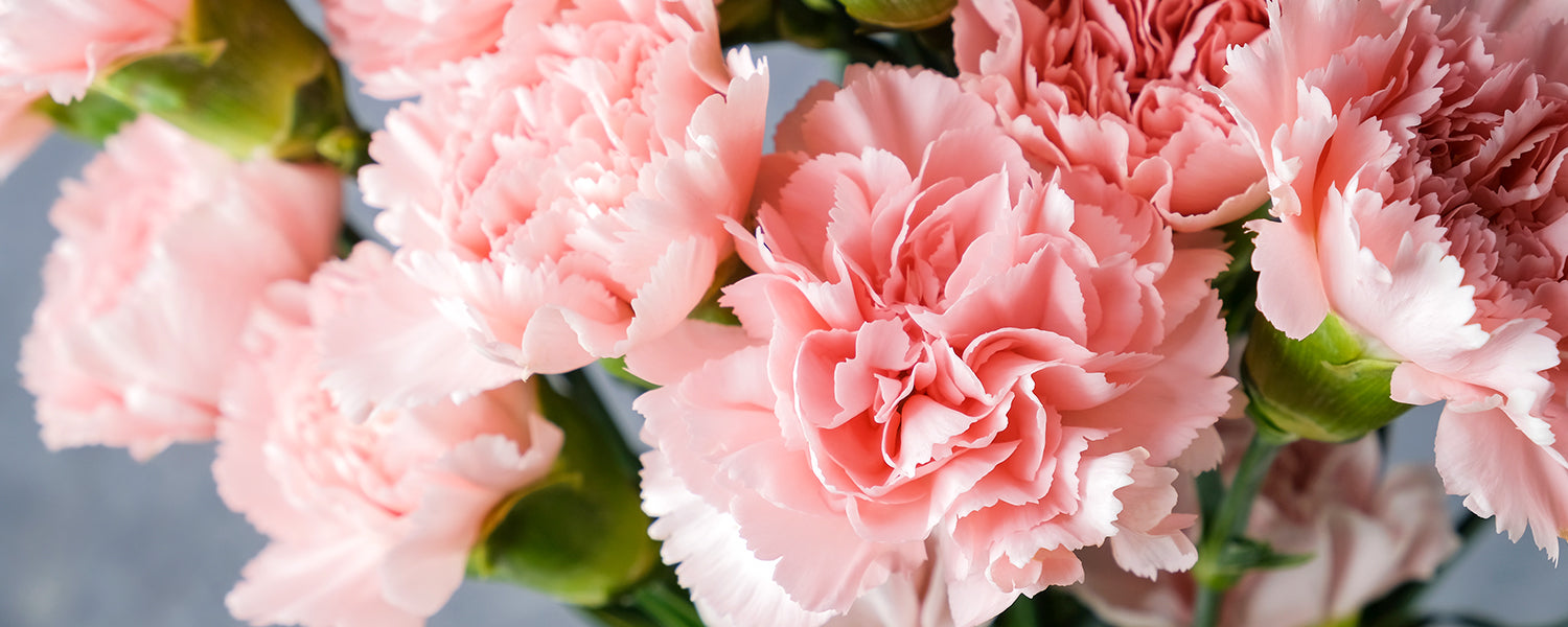 Carnation For Mother's Day