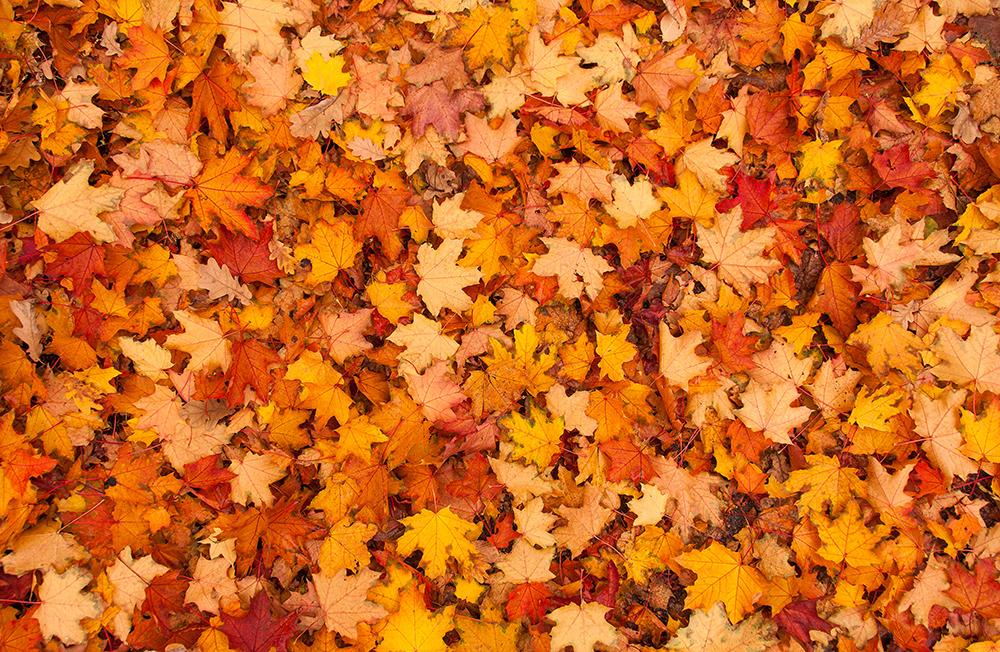 Autumn full of leaves background Photography Backdrops IBD-19353 - iBACKDROP-Autumn Backdrops, Fall Backdrop, Fall Backdrops, Fall Photography Backdrops, Season Backdrops, Tree Backdrops