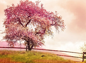 Natural Scenery Background Photo Background of Pink Flowering Trees on the Mountain IBD-20065