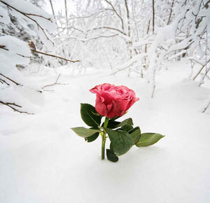 Season Backdrops Winter Flower Backdrops Snow Background YY00276-E