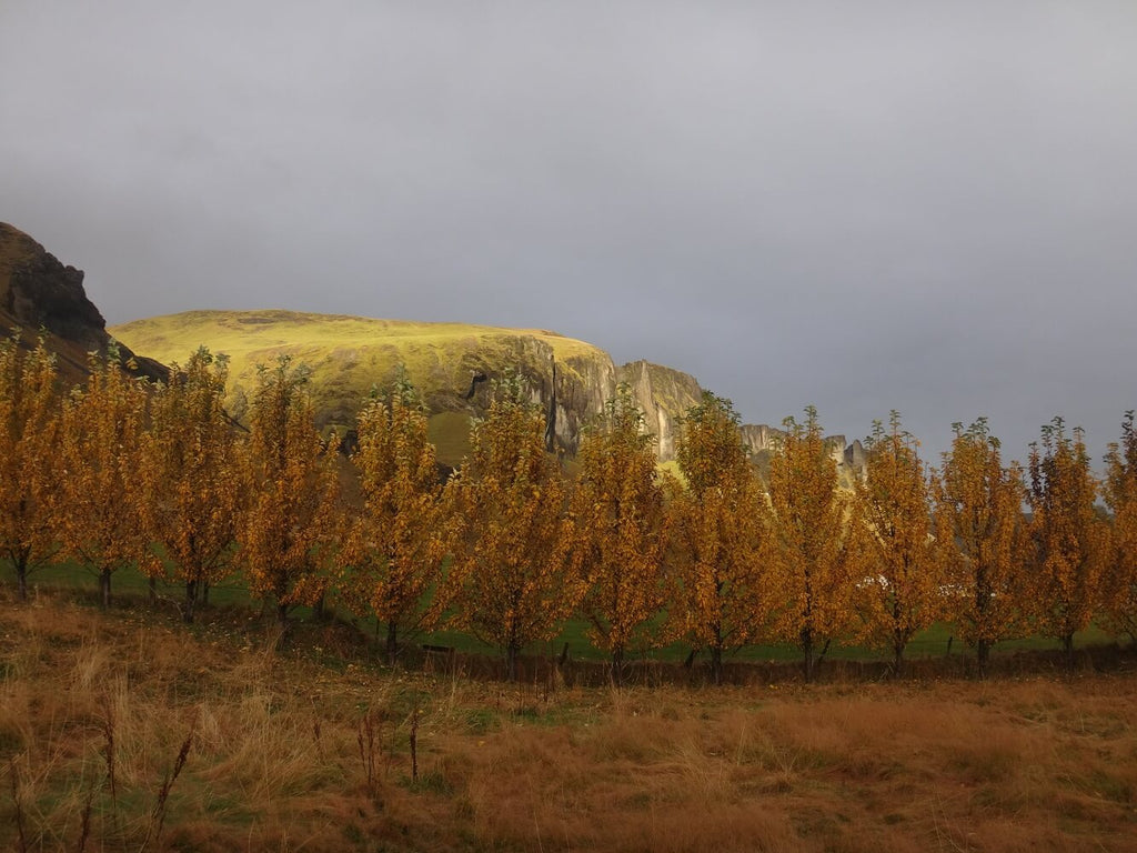 Row Of Yellow Trees By Field And Hills Backdrop IBD-24326