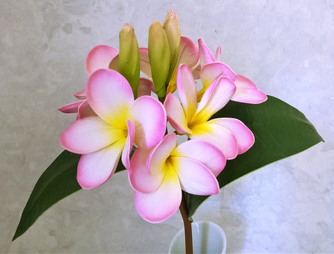 Frangipani Pink and White