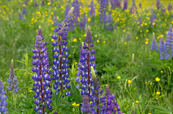 Lupines: Perfect coffee ingredient & sustainable caffeine-free