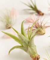 Air Plant Assortment Packs