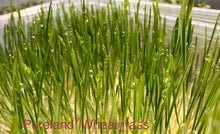 Live Wheatgrass Box