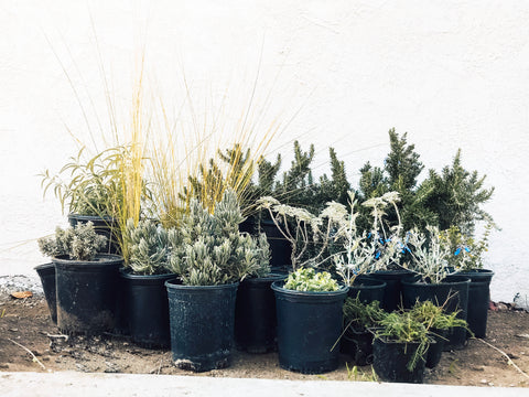 Drought Tolerant Mediterranean Designer Garden How-to