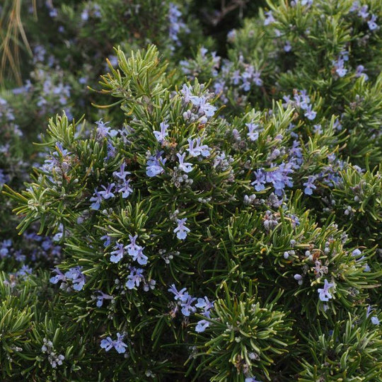 Rosemary Carpet