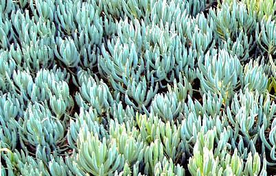 Succulent Groundcover (Blue)