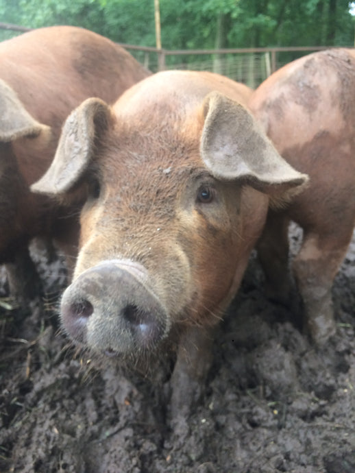 pastured pig in mud