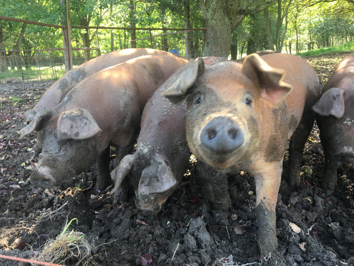 photo of 3 pastured pigs in mud