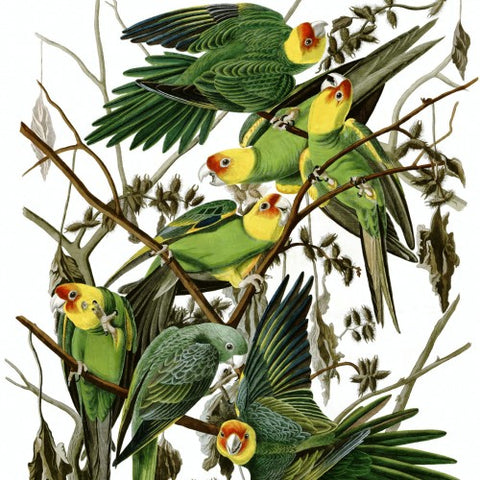 Carolina Parakeets Painted by John James Audubon (LEO Design)