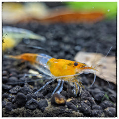 Orange/Yellow Rili Shrimp