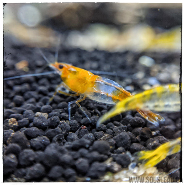 Orange/Yellow Rili Shrimp-Sousleau