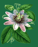 Flowers Collection (69) - Passion flower - Van-Go Paint-By-Number Kit