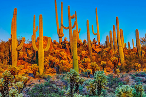 A Walk in the Desert: The Towering Saguaro