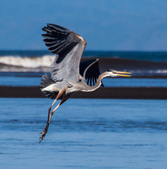 Great blue heron photo by Gerry Mcgee