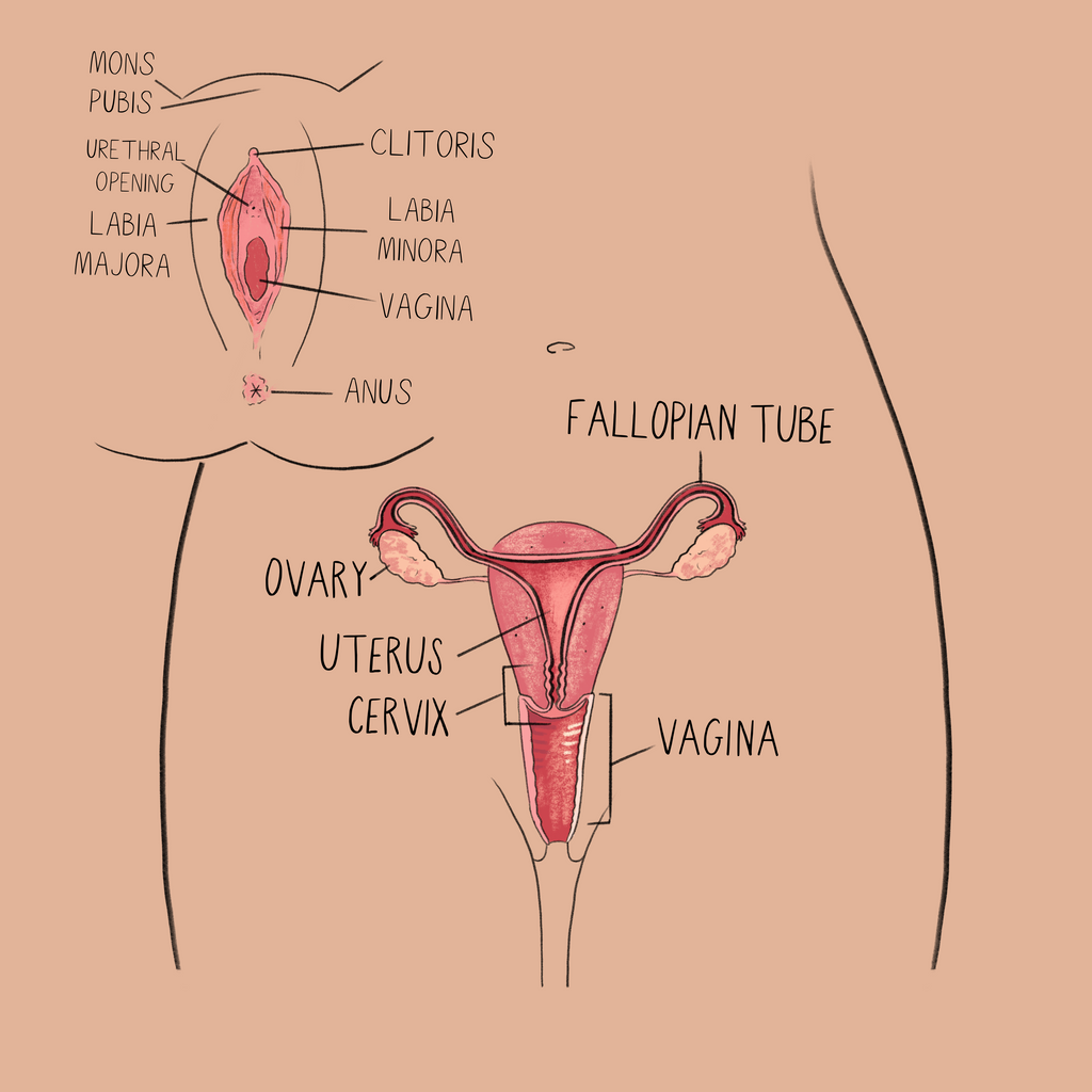 Anatomical Drawing of the Vulva, Vagina, and other Reproductive Parts