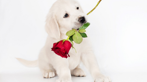 dog with rose