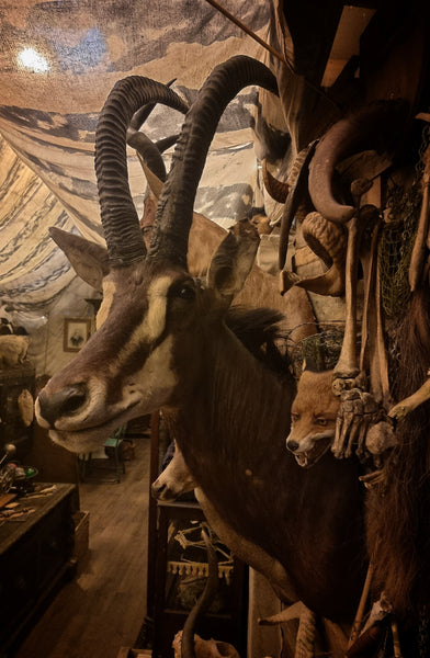 Sable Antelope Taxidermy