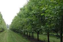 Rows of walnut trees of the Valier Estate in Veneto