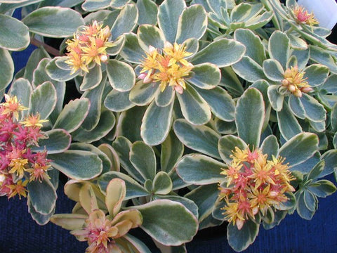 Sedum kamtschaticum variegatum  .....  This is compact growing form that has fairly large leaves with cream colored margins and hints of pink in full sun. The yellow flowers with pink to orange-red carpels appear on plants at the same time giving this a truly 'tricolor' appearance.It will trail 3 or 4 inches over the edge of a pot or trough. Deciduous