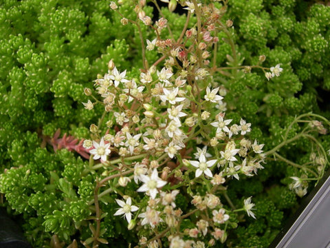 Sedum monregalense  .....  Tiny flat leaves are bright green in whorls. Dense spreading species has white flowers. This beautiful succulent comes from southern France, Italy and Corsica at subalpine altitudes in shady locales. Best to give it some shade in the landscape (and a 'haircut' when it has finished blooming). Evergreen perennial.
