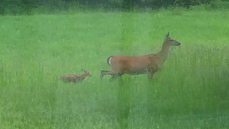Doe and Fawn Explore the Yard