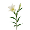 Grand Illusions Easter Lily