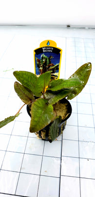 Cryptocoryne Wendtii Brown (potted)