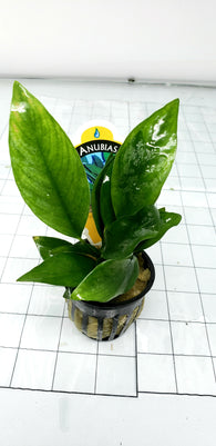 Anubias nangi (potted)